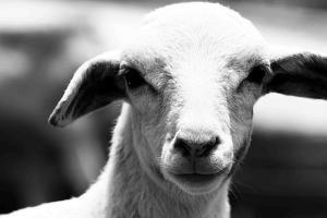 Milczenie owiec...