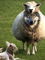 wilk w owczej skórze
